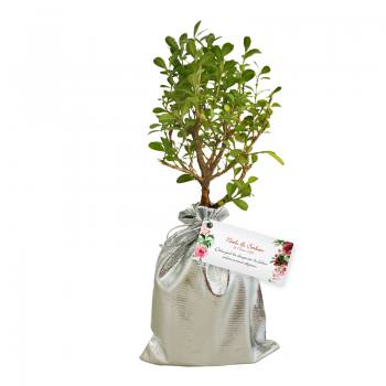 Promotion Boxwood Sapling