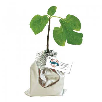 Promotion Fig Sapling